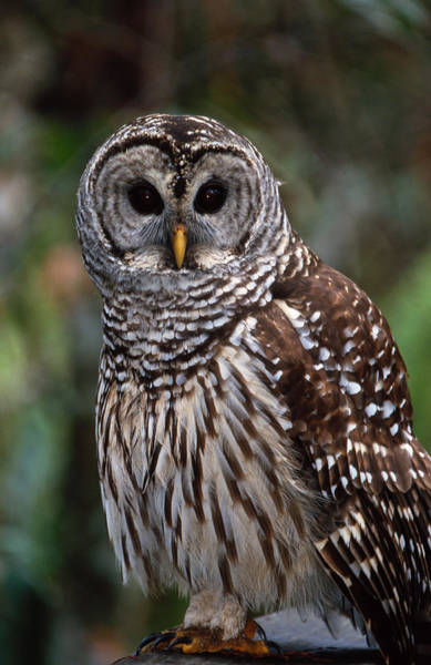 Photograph - Barred Owl by Bradford Martin
