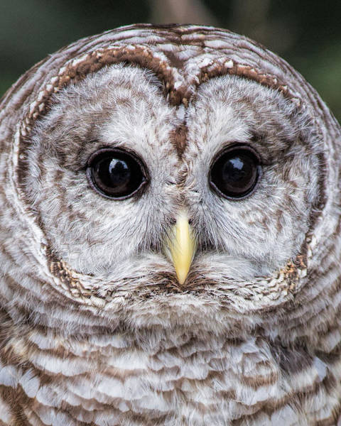 Photograph - Barred Owl Close Up by Dale Kincaid