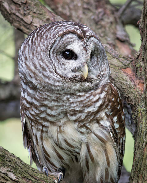 Photograph - Barred Owl by Dale Kincaid