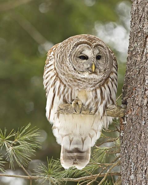 Barred Owl Hunting Art Print