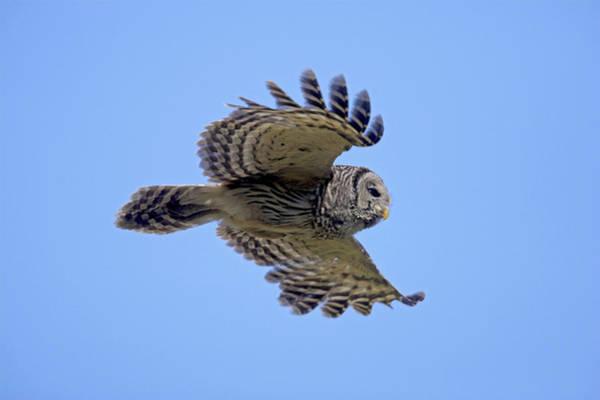 Photograph - Barred Owl In Flight by D Robert Franz