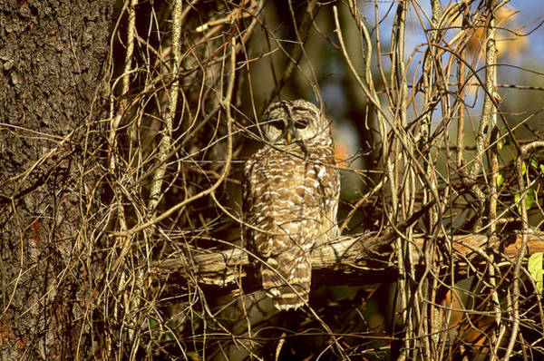 Wall Art - Photograph - Barred Owl by John W. Bova