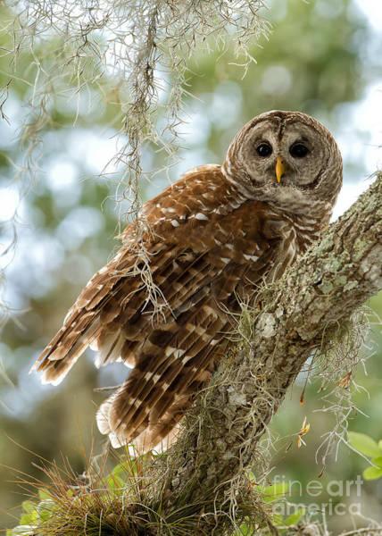 Joshua Clark Photograph - Barred Owl by Joshua  Clark