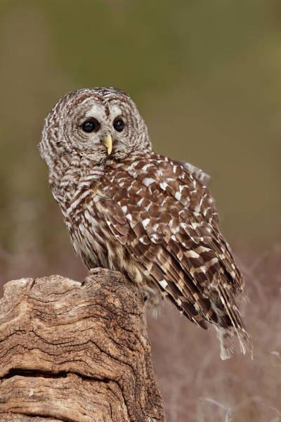 Barred Owl Photograph - Barred Owl, Montana by Adam Jones