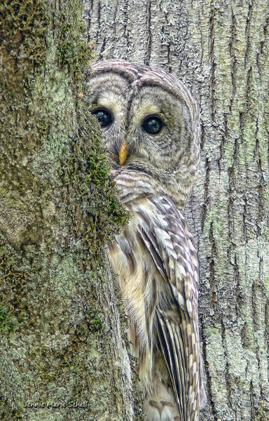 Tan Photograph - Barred Owl Peek A Boo by Jennie Marie Schell