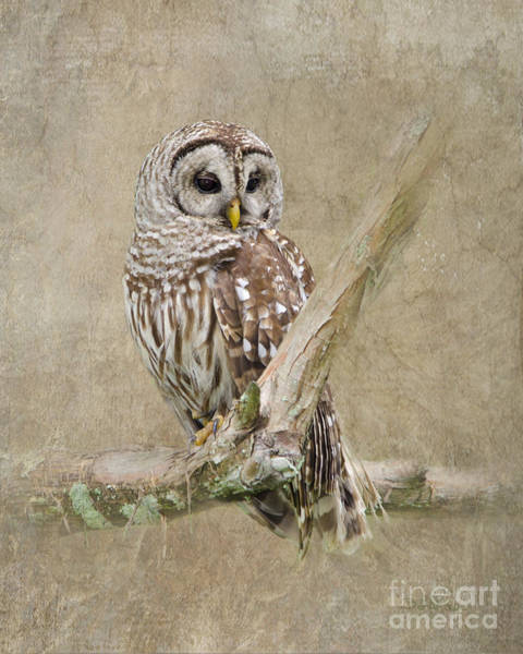 Barred Owl Photograph - Barred Owl Portrait by Betty LaRue