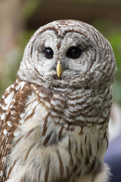 Photograph - Barred Owl Portrait by Dale Kincaid