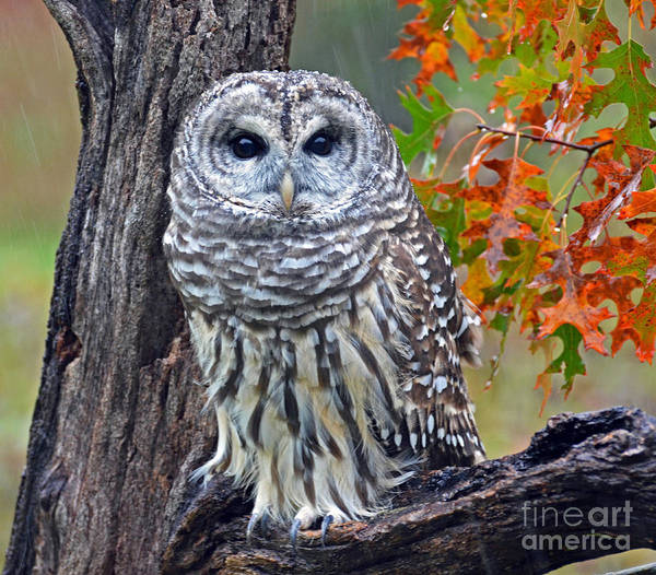 Photograph - Barred Owl by Rodney Campbell