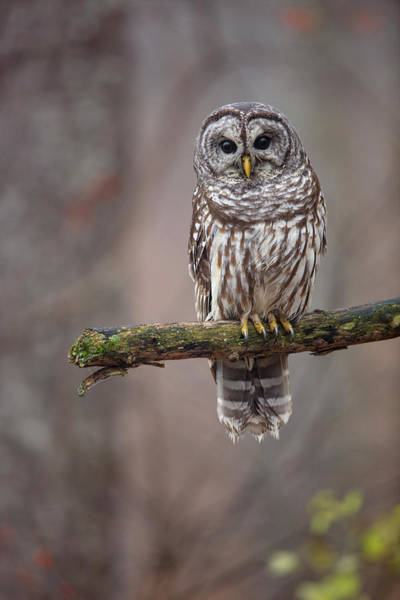 Wall Art - Photograph - Barred Owl Strix Varia Perching by Paul E Tessier