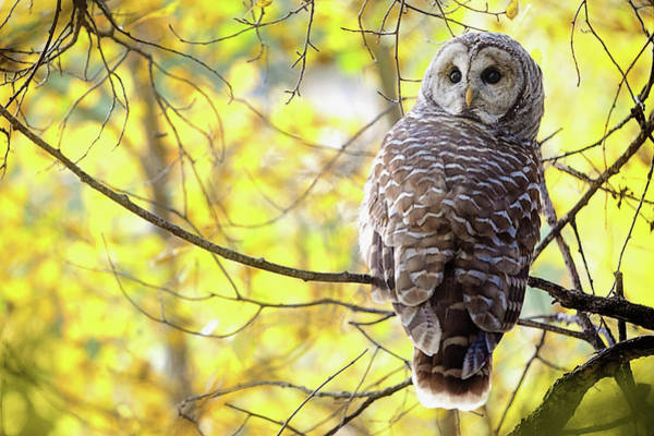 Bird In Tree Photograph - Barred Owl Strix Varia by Steve Nagy / Design Pics