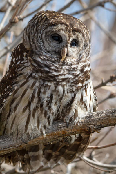 Photograph - Barred Owl by Teri Virbickis