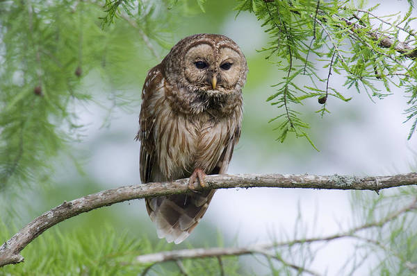 Wall Art - Photograph - Barred Owl by Thomas And Pat Leeson