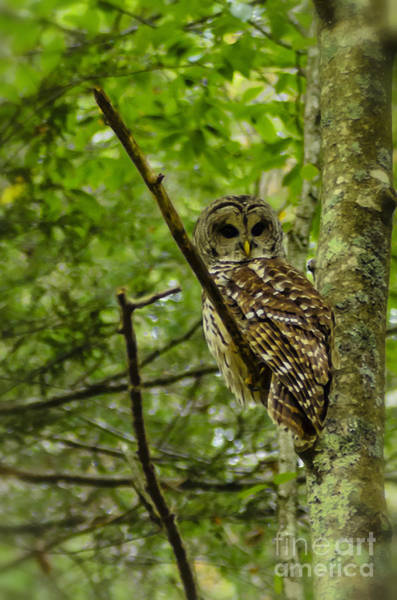 Photograph - Barred Owl by Thomas R Fletcher