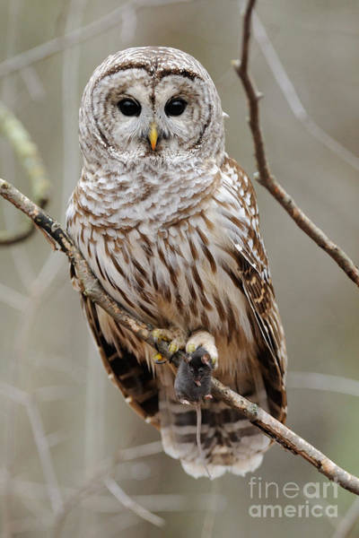 Photograph - Barred Owl With Mouse by Scott Linstead