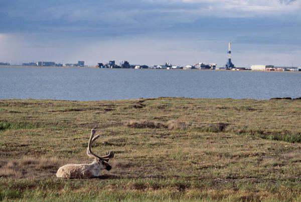 Wall Art - Photograph - Barren Ground Caribou Outside The Oil by Steven J. Kazlowski / GHG