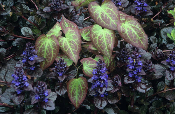 Bugling Wall Art - Photograph - Barrenwort And Bugle Plants by Archie Young/science Photo Library