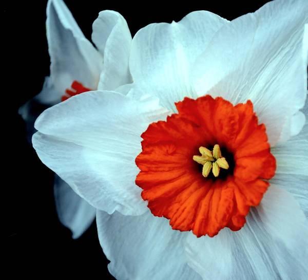 Black Narcissus Photograph - Barrett Browning Daffodil by Deena Stoddard