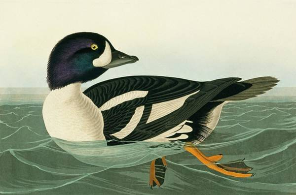Wall Art - Photograph - Barrow's Goldeneye by Natural History Museum, London/science Photo Library