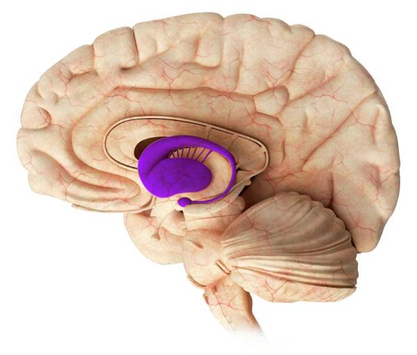Wall Art - Photograph - Basal Ganglia In The Brain by Claus Lunau/science Photo Library