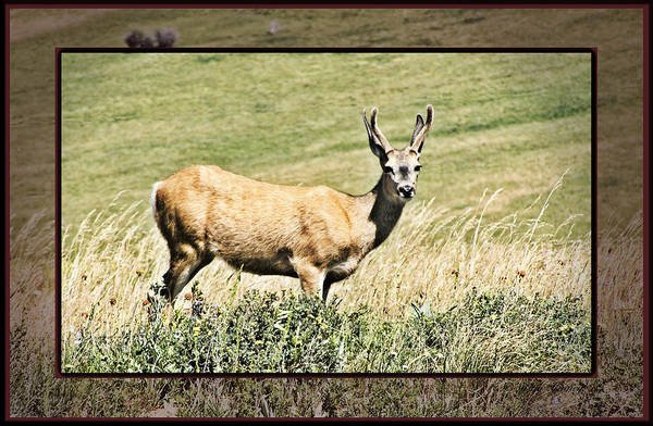 Photograph - Bashful Deer by Susan Kinney