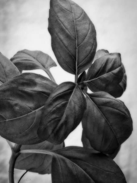 Photograph - Basil Leaves by Bob Orsillo