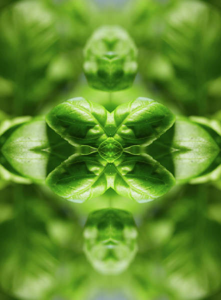 Photograph - Basil Leaves by Silvia Otte