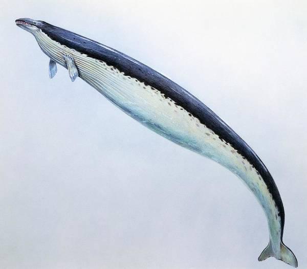 Wall Art - Photograph - Basilosaurus Prehistoric Whale by Michael Long/science Photo Library