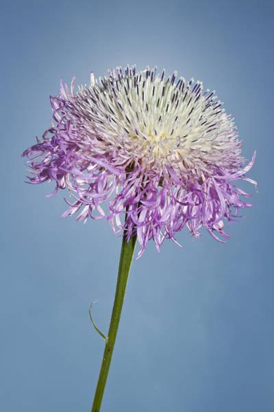 Photograph - Basket-flower Blocking The Sun by Steven Schwartzman