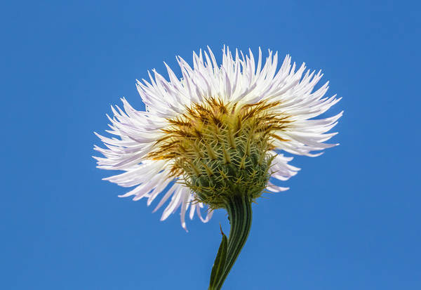 Photograph - Basket-flower From Below by Steven Schwartzman