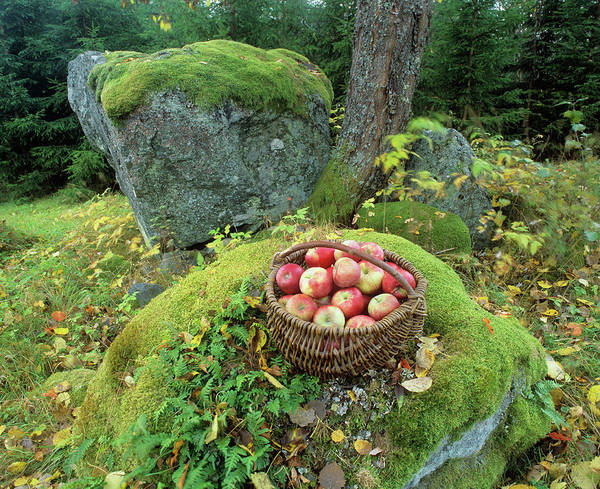 Malus Photograph - Basket Of Apples by Bjorn Svensson/science Photo Library