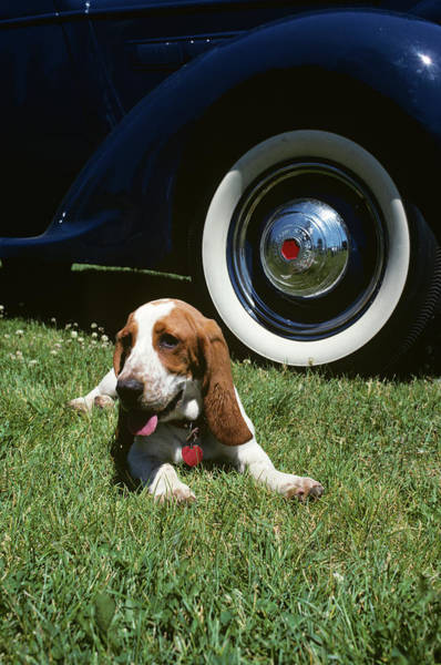 Wall Art - Photograph - Basset Hound Lying In Grass By Antique by Animal Images