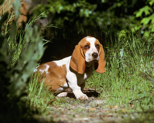 Wall Art - Photograph - Basset Hound Puppy In A Garden by Animal Images