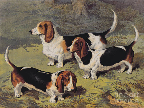 Dogs Painting - Basset Hounds by English School