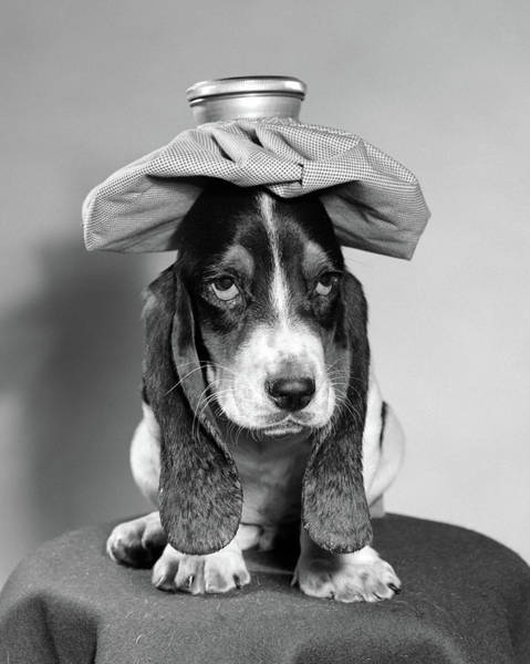 Weary Photograph - Bassett Hound Dog With Ice Pack On Head by Vintage Images