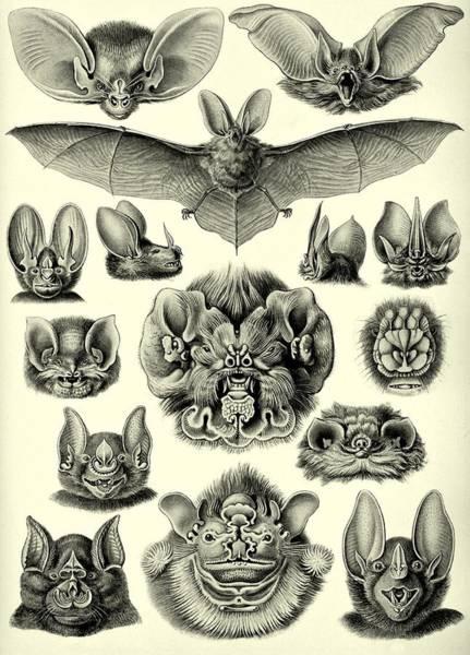 Digital Art - Bat Bats Haeckel Chiroptera Mammals Microchiroptera by Movie Poster Prints