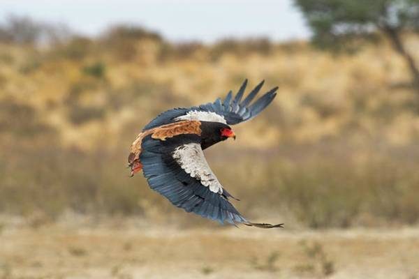 Accipitridae Wall Art - Photograph - Bateleur Eagle In Flight by Tony Camacho