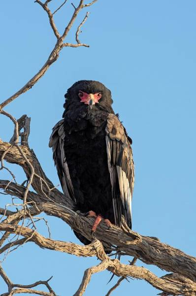 Accipitridae Wall Art - Photograph - Bateleur Eagle Perched In The Kgalagadi by Tony Camacho/science Photo Library
