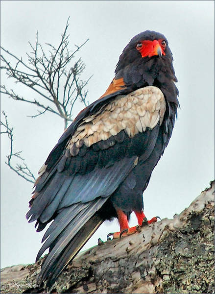 Arica Photograph - Bateleur Eagle - Terathopius Ecaudatus by Judith Meintjes