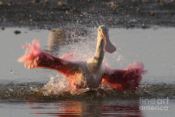 Photograph - Bath Time - Roseate Spoonbill by Meg Rousher