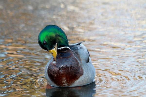 Greenhead Photograph - Bath Time by Eric Anderson