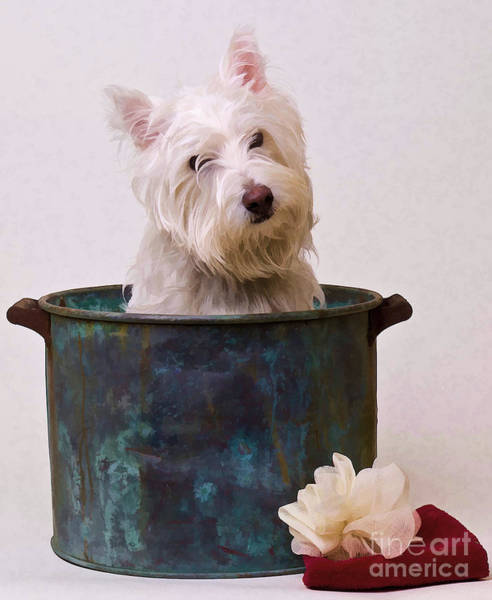 Sweet Puppy Photograph - Bath Time Westie by Edward Fielding