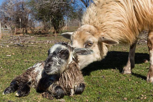 Ovine Photograph - Bathing Baby Ram by Kathleen Bishop