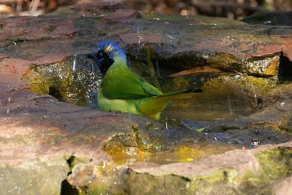Photograph - Bathing Green Jay by Stuart Litoff