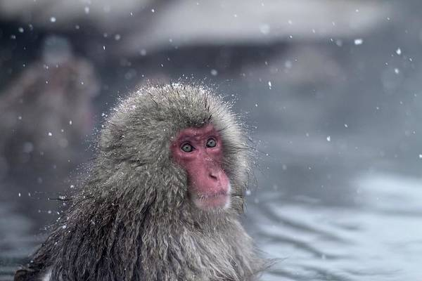 Snow Monkey Photograph - Bathing Snow Monkey by Filmmaker From Vienna