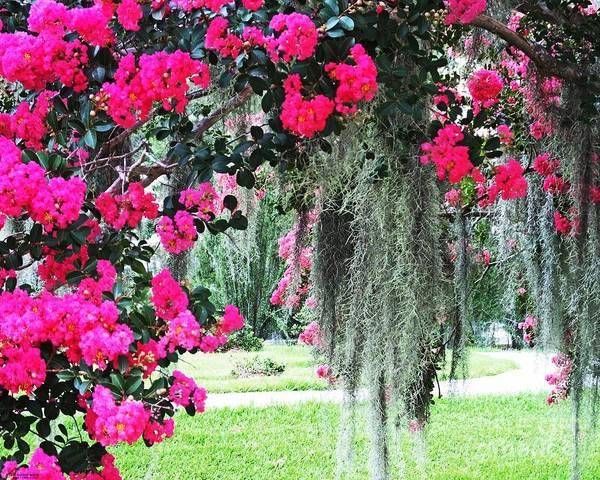 Baton Rouge Louisiana Crepe Myrtle And Moss At Capitol Park Art Print