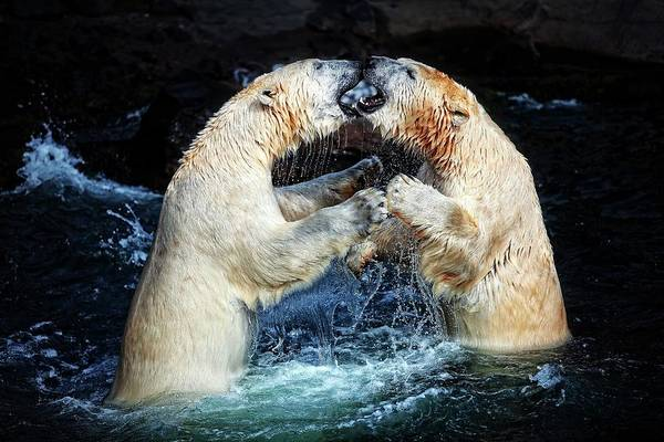Polar Bear Photograph - Battle & Kisses .... by Antje Wenner-braun