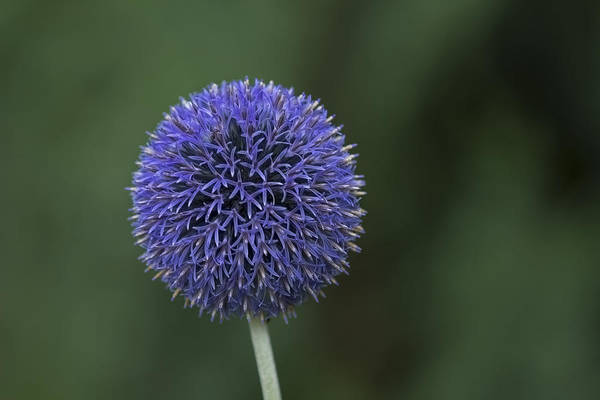 Photograph - Bavarian Globe Thistle by Sean Allen