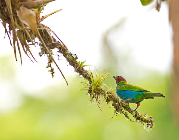 Photograph - Bay-headed Tanager by Brian Magnier