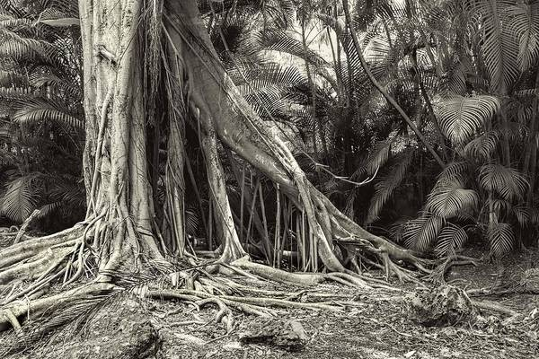 Photograph - Strangler Fig by Rudy Umans