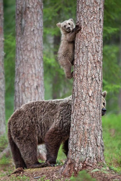 Cubs Photograph - Be Carefully ! by Alessandro Catta